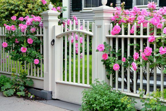 Дачный забор, украшенный плетистыми розами
