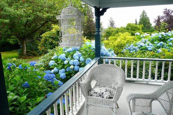 Голубая гортензия у крыльца дачного дома