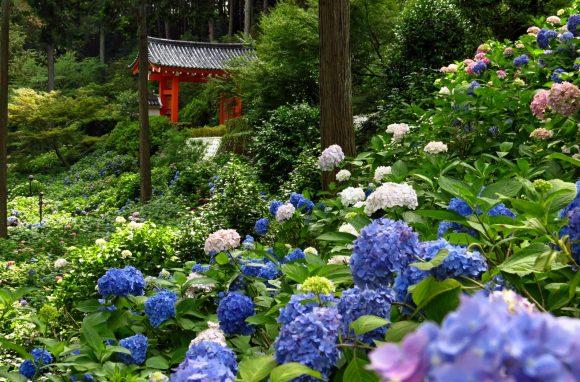 Гортензия в саду пейзажного дизайна