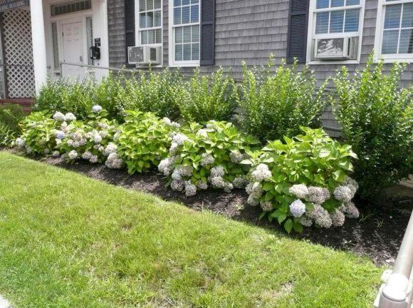 Кусты гортензии у загородного дома