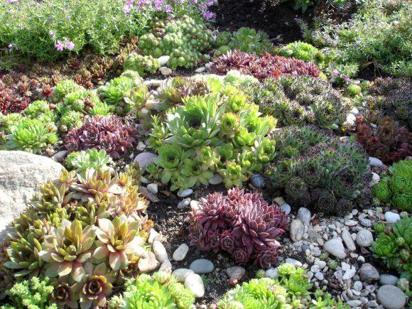 Молодило на каменно-растительной композиции
