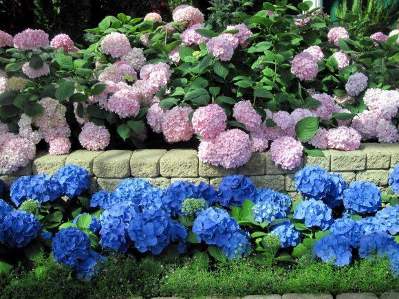 Разноцветный бордюр из гортензии вокруг садовой дорожки