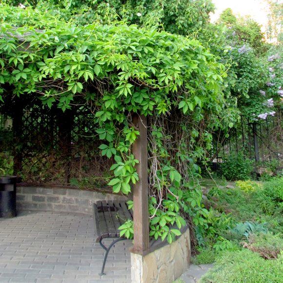 Пергола, увитая диким виноградом